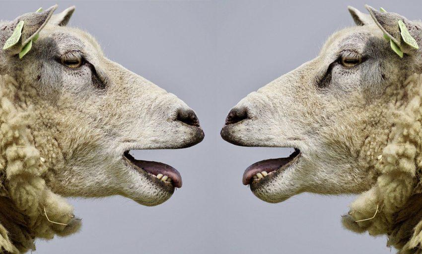 Arguing sheep